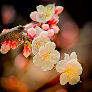梅の花 その二(散歩写真)