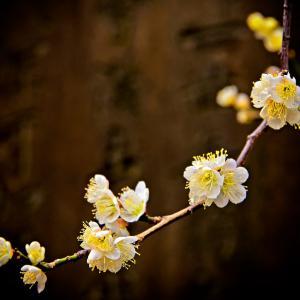 梅の花 その四(散歩写真)