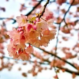 大寒桜(散歩写真)