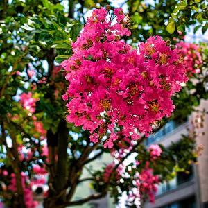 百日紅の花(散歩写真)