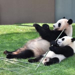 【悲報】上野動物園のシャンシャン、年内に中国返還