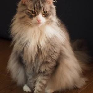【ねこ】ペットショップで28万円のネコを盗み走って逃げた36歳無職の女を逮捕。「私が拾った猫。盗んでない」と容疑否認。京都市