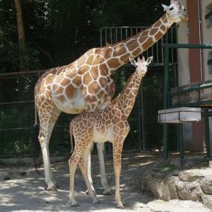 【福岡】「いい名前付けてね」キリンの赤ちゃん33年ぶり誕生 福岡市動物園