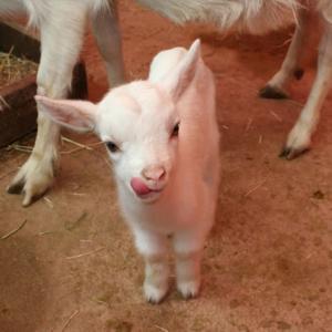 自治体「ヤギに草食べさせたら除草費用が安くなりました」