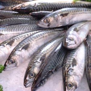 【魚】サバからクロマグロが生まれる?