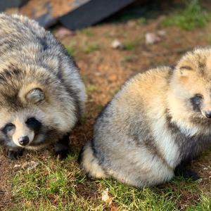 【不祥事】動物園職員、タヌキ5匹を山林に捨て厳重注意…「最良の解決策と」[R2/6/26]