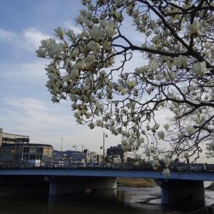 五条大橋 木蓮。