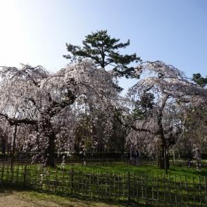 京都御苑。近衛邸のしだれ桜。