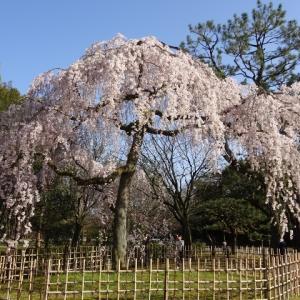 京都御苑・出水の桜。