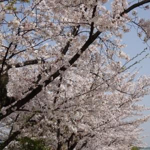 梅小路公園・桜。&お知らせ・ブログ休止します。