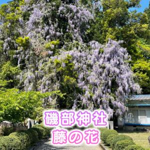 【磯部神社】藤の花がキレイすぎ!場所や駐車場を紹介【富山県氷見市】
