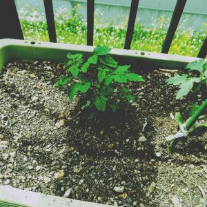 プランター栽培3週間経過 トマトと赤ジソ