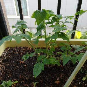 プランター栽培4週間経過 トマトの成長がすごい