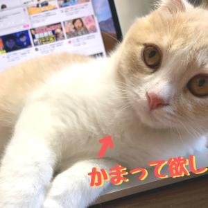 【YouTube更新】かまってほしくて強行手段をとってしまう子猫