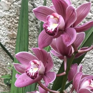 35年間 ほぼ毎年咲く蘭の花   Orchids that bloom almost every year for 35 years