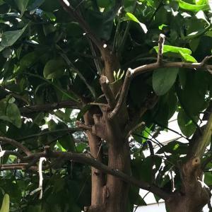 グレープフルーツの枝の危険なトゲ  薔薇の比ではないです  Dangerous thorns on grapefruit branches