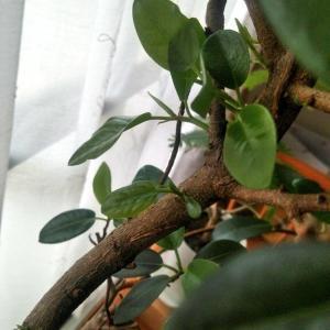 フランスゴムの木。