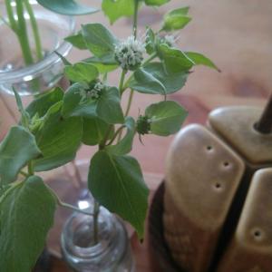 マウンテンミントの花