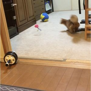 投げたボール取ってくるくらい猫でも楽勝!