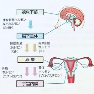 月経周期とホルモンの変化