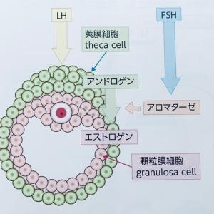 卵胞におけるエストラジオールの産生