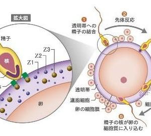 受精(fertilization)