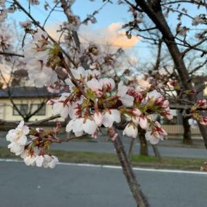 飯田市大宮通りの桜並木