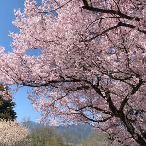 飯田市・矢高公園の桜