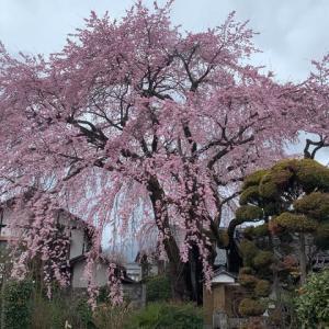 黄梅院の枝垂れ桜(シダレザクラ)