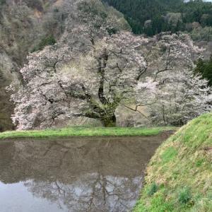 阿智村の駒つなぎの桜