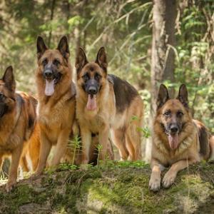 なんと26犬種も!シェパードがいました。