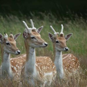 リッチモンド・パークで鹿を見る