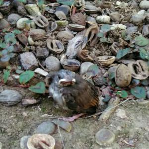 ヒナドリ達が飛ぶ練習中!庭のシマトネリコの巣から飛んだ…