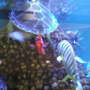 アオウミガメのナミちゃんにあえるよぉ~♪八千代台のミニ水族館….