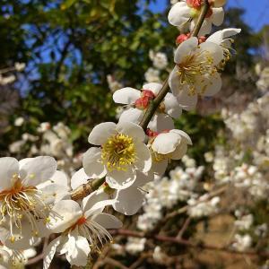 ある晴れた日の♪梅がみごろの宗吾霊堂♪