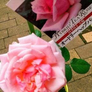 オードリーヘップバーン≪ピンクカラーの薔薇≫