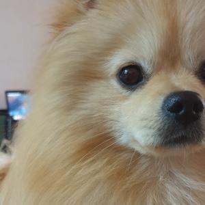 うちのわんこの紹介。 ポンピーズという犬種です。
