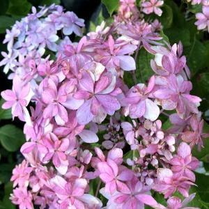 【鎌倉】長谷寺で紫陽花を思いっきり愛でよう!