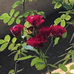 咲くはずもない薔薇が咲いています。