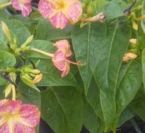 オシロイバナが咲き始めた