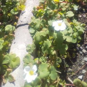 今日はいい天気だオキザリスが咲いた