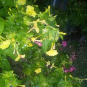 雨の中のオシロイバナ