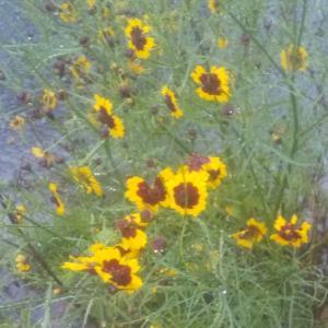 庭の花07/01 大雨ですよ