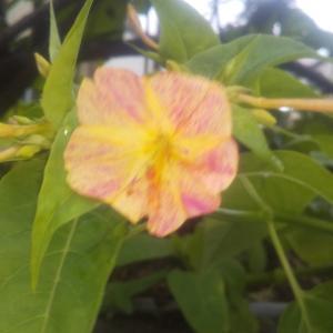 庭の花07/02 オシロイバナだよ