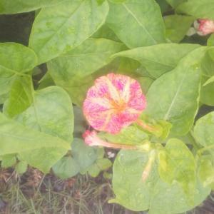 庭の花07/03 やっと上がった雨