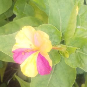 庭の花07/04 今日のオシロイバナ