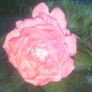 07/22 バラが咲いてた