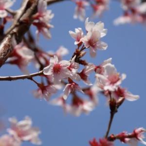 桜を求めて散歩