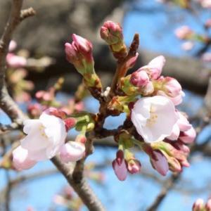 桜はボツボツ咲き?