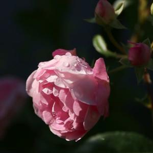 雨上がりのミニ薔薇